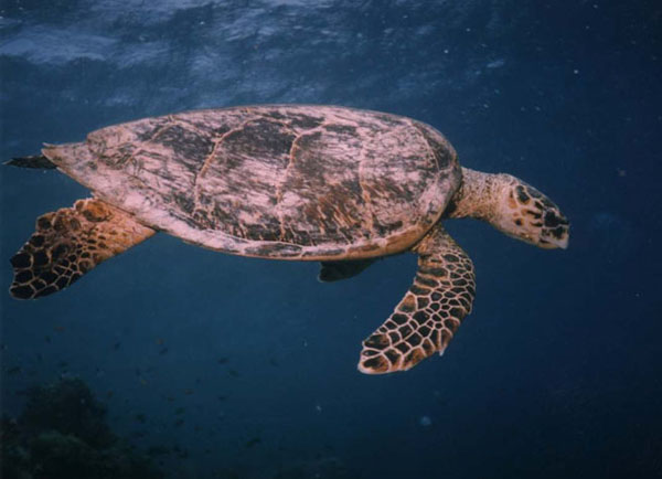http://monami-travel.com/images/stories/gallery/redsea/Turtle.jpg